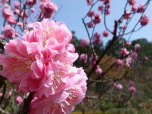 ★HP翡翠園春の梅